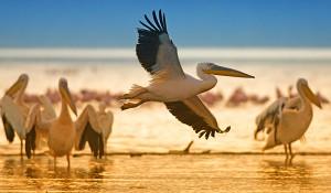 Lake Nakuru Great White Pelicans