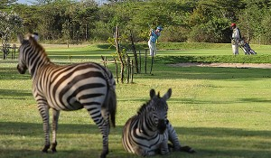 golf_zebras_ILoveKenya