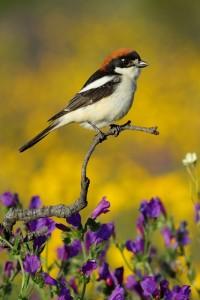 Woodchat Shrike_Miguel Angel Hernansanz Galán_Finalist Extremadura Birdwatching Fair Photo Contest 2014 weblrg