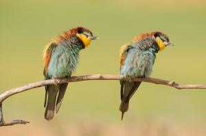 el baile de los abejarucos.European Bee-eaters by Lourdes Delgado Valencia. Finalist Extremadura Birdwatching Fair Photo Contest 2013 WEBLRG