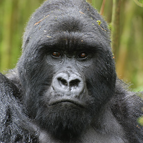 (c)2009 Kamili - Rwanda gorillas cropped