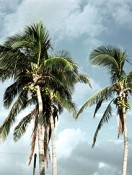 Coconut tree_USDA