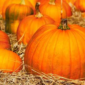 pumpkins-in-field.shutterstock_214588429cropped-282