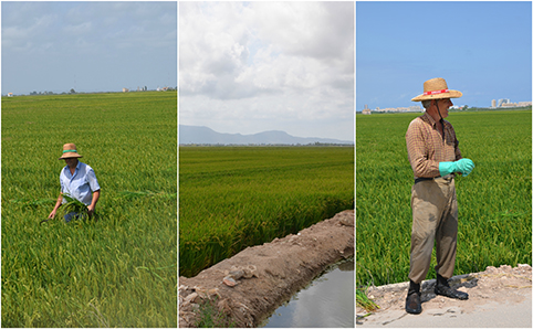 albufera rice fields healthyaging.net