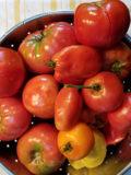 ripe freshly picked tomatoes